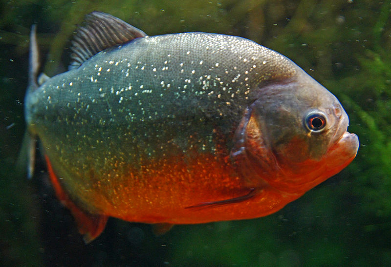 Animal a day red bellied piranha for Pictures of piranha fish