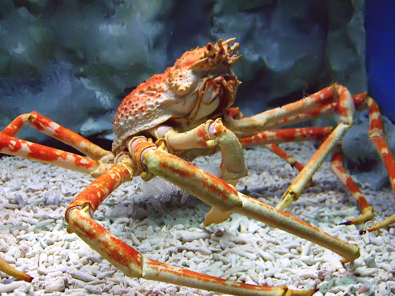 Japanese Spider Crab Eating a Person Japanese Spider Crab