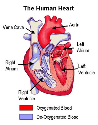 Human heart diagram in body human heart diagram in body photo8 ccuart Image collections
