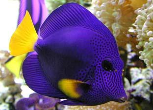 Animal photos videos hub colourful fish animal biography for Purple saltwater fish