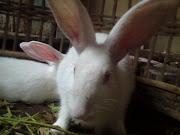 kelinci arip