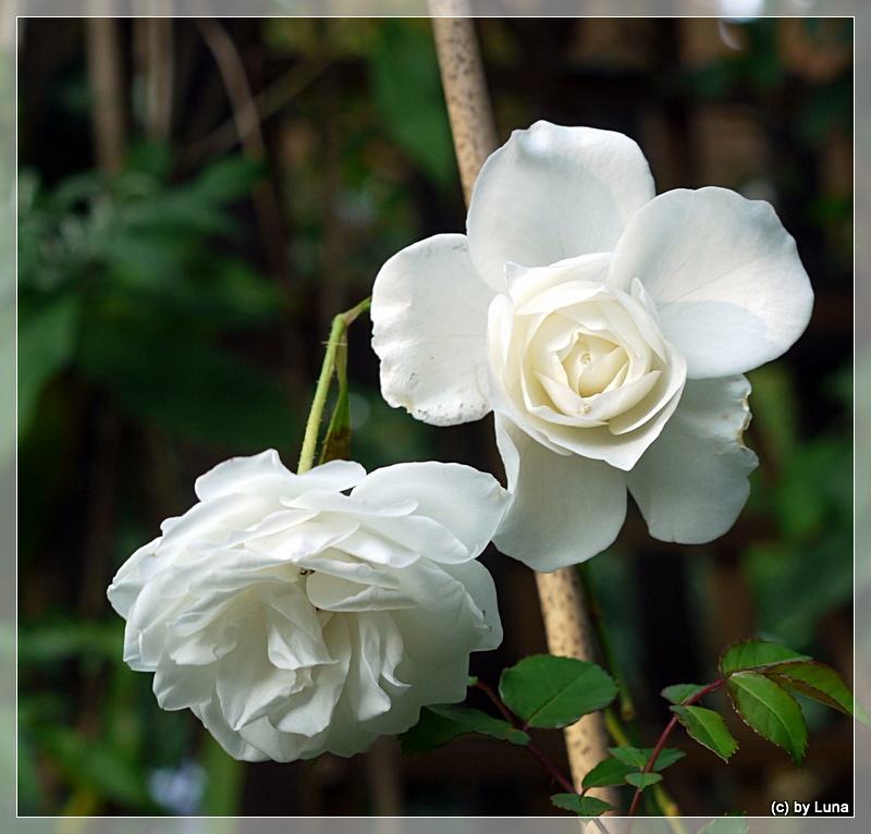 lunas garten rosen vielfalt schneewittchen und. Black Bedroom Furniture Sets. Home Design Ideas