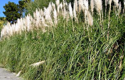 pampas grass - the civilised solution