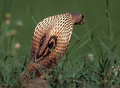 Indian cobra Hood