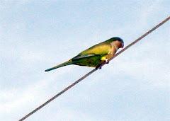 Local Wild Parrot