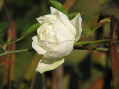 A commonly used understock for grafted roses in warmer climates