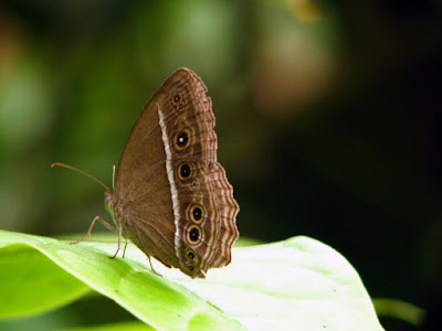 Butterfly-Wing-Development