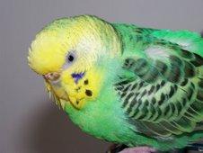 """<a href=""""http://www.birdchannel.com/blog/viewbio.aspx?apid=24241"""">Pigwidgeon - 5/1/04- 11/11/09</a>"""