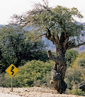 Wiggly tree on Ruta 40 -(c)Alex Guest