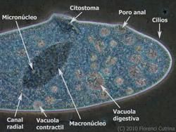 Estructura parmecio - El mundo de Hydra