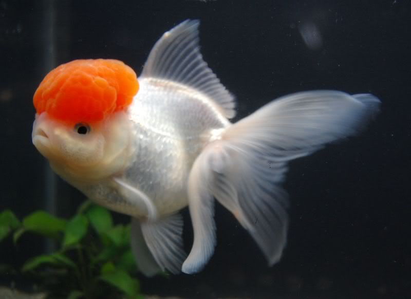 White oranda goldfish - photo#15