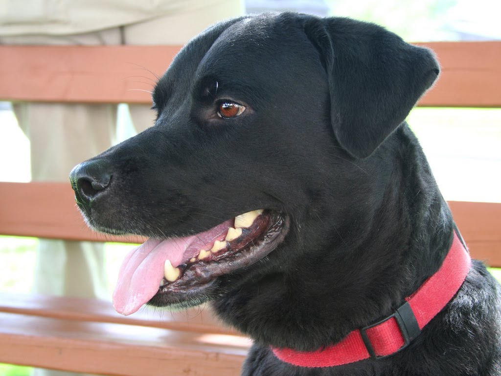 I am a 7 year old, spayed female, Labrador Retriever/Rottweiler mix looking ...