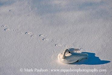 Trumpeter Swan In Snow