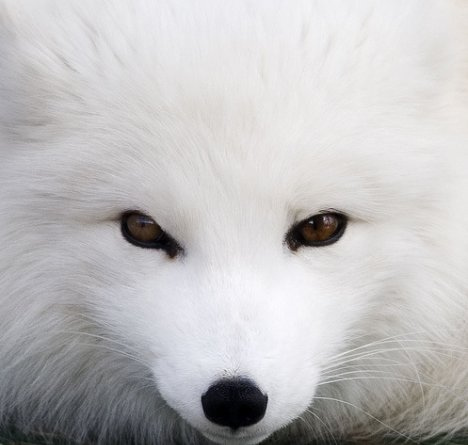 The Arctic Fox is another