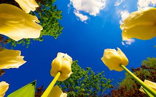Tulip Race Wallpaper