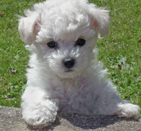 Maltipoo Full Grown