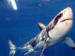 Tiburon (escualo).