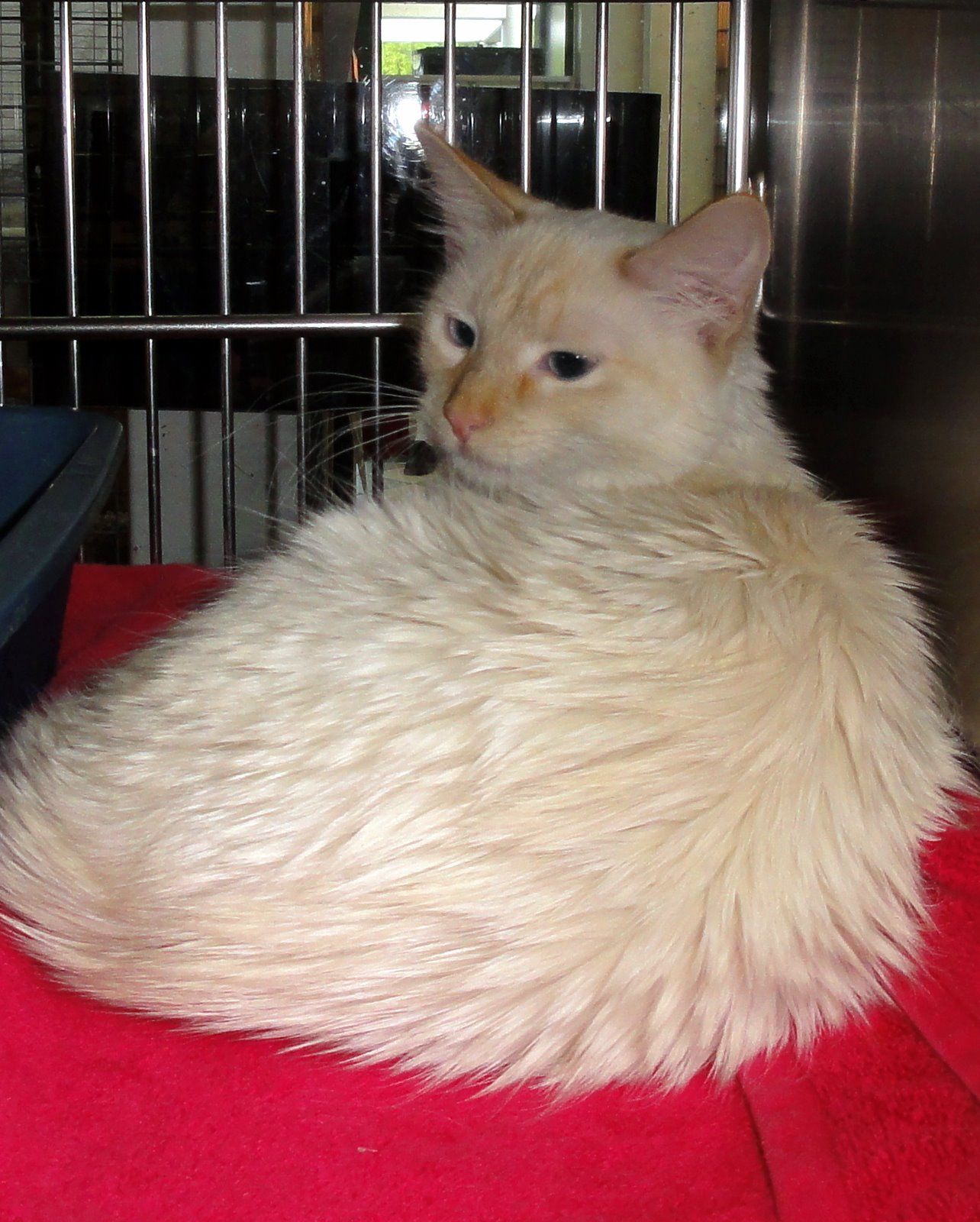 Flame Point Long Hair Siamese   LONG HAIRSTYLES