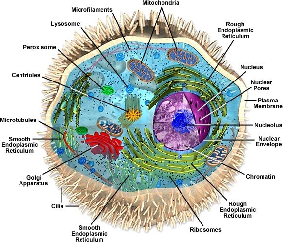Biology cells the ultrastructure of animal cells ccuart Choice Image
