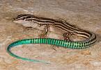 Reptiles mas cotizados en peligro de extincion
