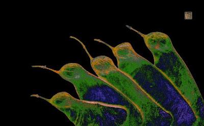 semillas de acacia a 2