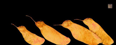 Semillas de acacia c 1