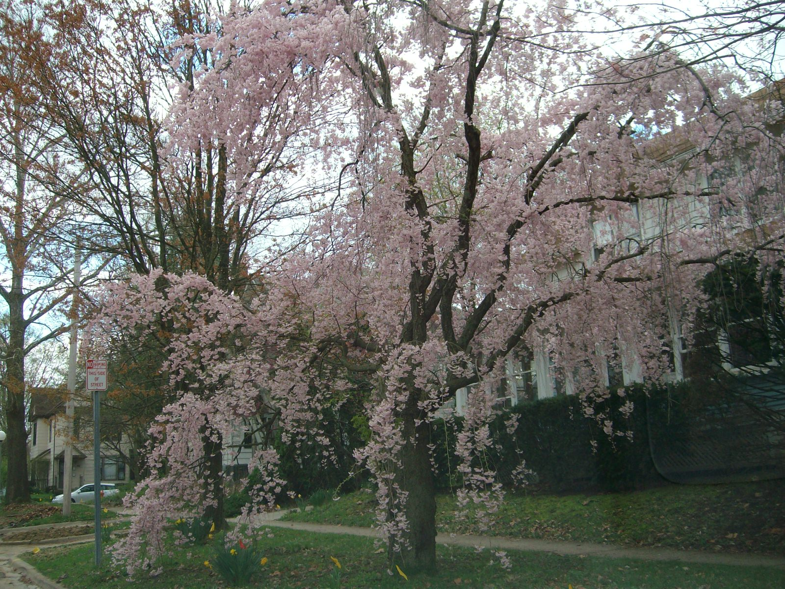 the house behind a weeping cherry analysis Whether sweet, sour or weeping, knowing when to prune a cherry tree and the correct method for cutting back cherries is a valuable tool so if you want a cherry tree that will provide maximum fruit production, ease of harvest and care and is aesthetically pleasing in appearance, then you need to prune cherries.