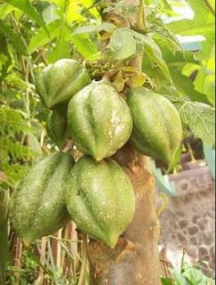 carica buah khas dataran tinggi Dieng