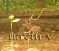 Deers with horns at Sanjay Gandhi National park safari in Borivali suburb of Mumbai in India