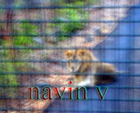 Free old Lion King at Sanjay Gandhi National park safari in Borivali suburb of Mumbai in India