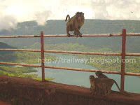 Monkey at Kates Point of Mahabaleshwar in India