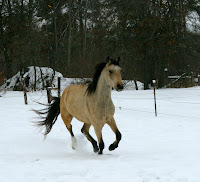 Buckskin Running in Snow
