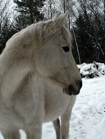 24-Year-Old Half-Arab Mare
