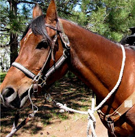 Arabian Horse with Halter Underneath Bridle