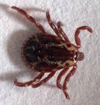 Male Wood Tick (Also 'Dog Tick')