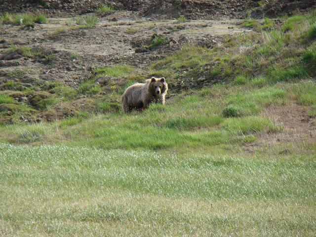 хозяин тундры-медведь