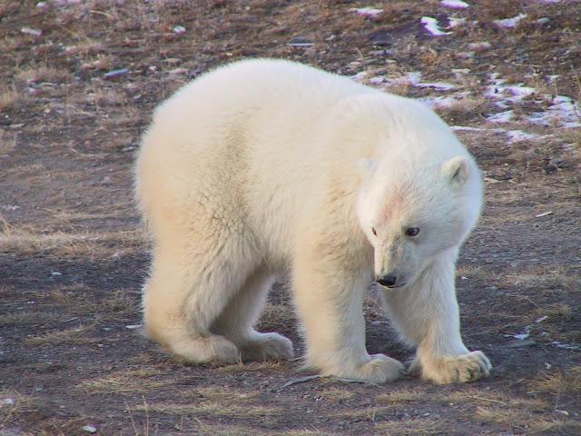 на чукотке белый медведь молодой