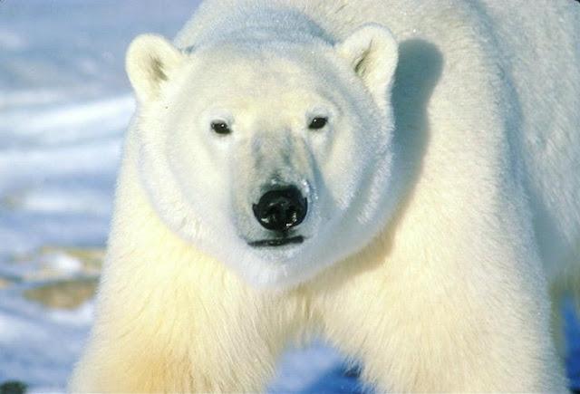 на чукотке белый медведь хозяин