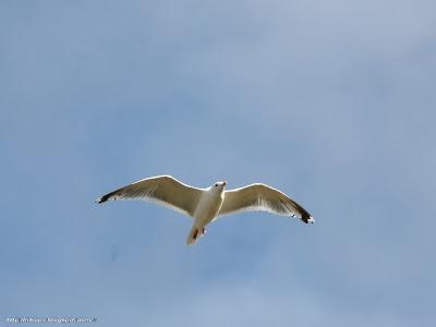 Баклан - птица на Чукотке