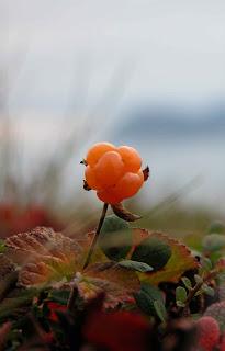 Это Чукотская ягодка