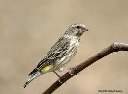 Seputar Burung Blackthroat ~ Kicau Burung Lokal Indones