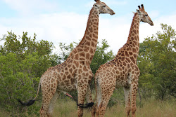 Gay Giraffes