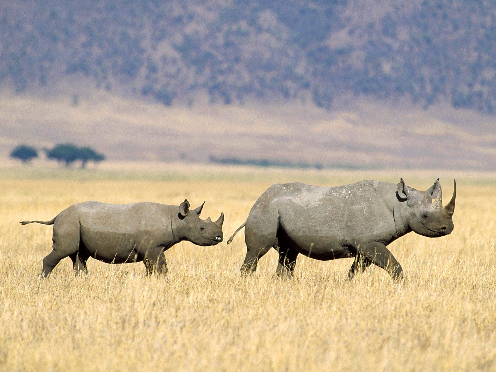 D  233 j  224  21 rhinoc  233 ros tu  233 s en 2011 en Afrique du SudRhinoceros Baby