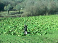 Plantação de Nabiças (Lagas)