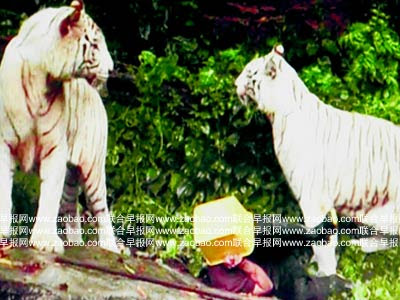 Singapore  Attack Pictures on Photos Of White Tigers Attack Man In Singapore Zoo   Funky Downtown