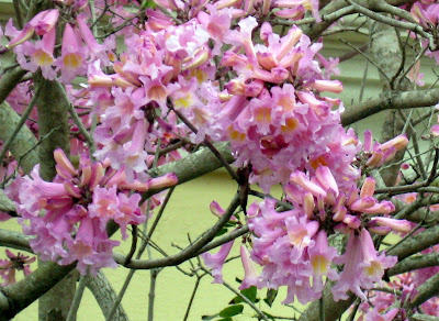 All the latest dirt pink tabebuia the clusters of trumpet shaped flowers are lavenderpink with a yellow throat it is native to brazil and grows in usda hardiness zones 10 11 mightylinksfo
