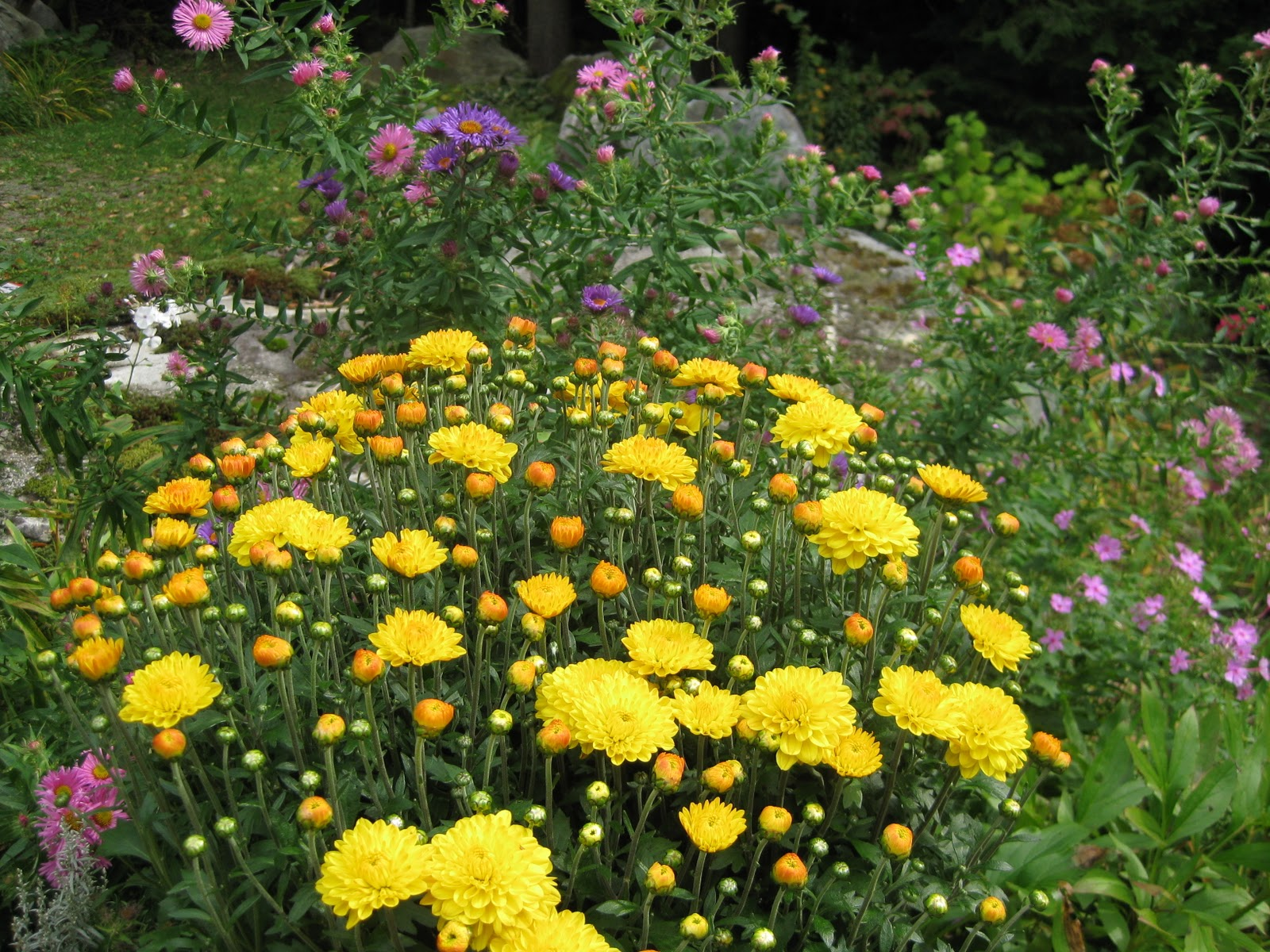 All The Latest Dirt Asters The Last Fall Flowers