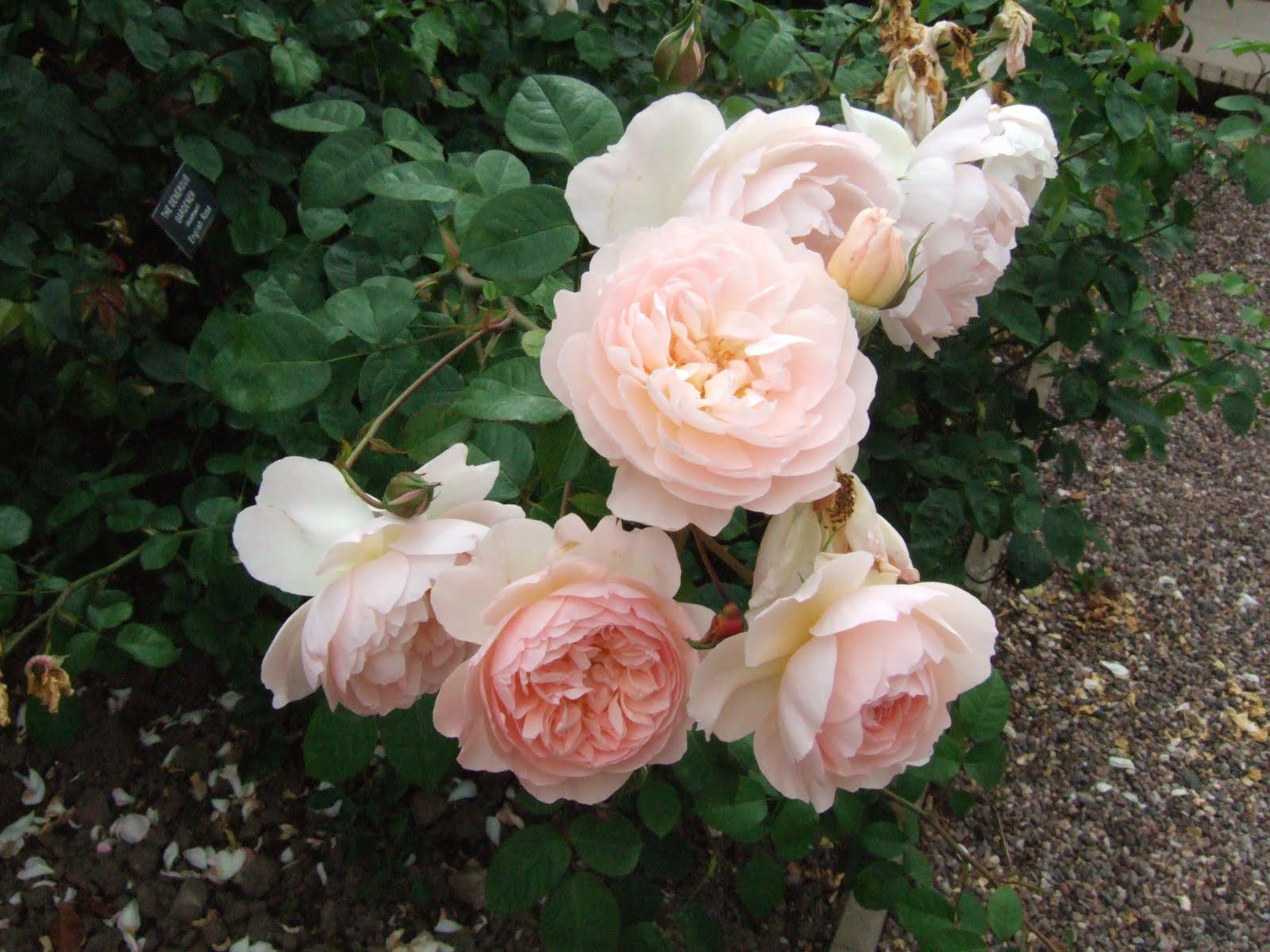 The Garden Diaries Rosa The Generous Gardener