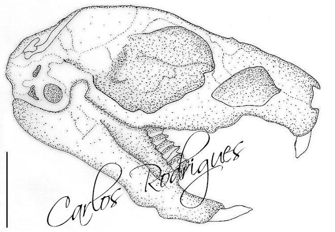 Crânio de (Cavia porcellus)