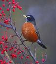 American Robin, click for more photos 